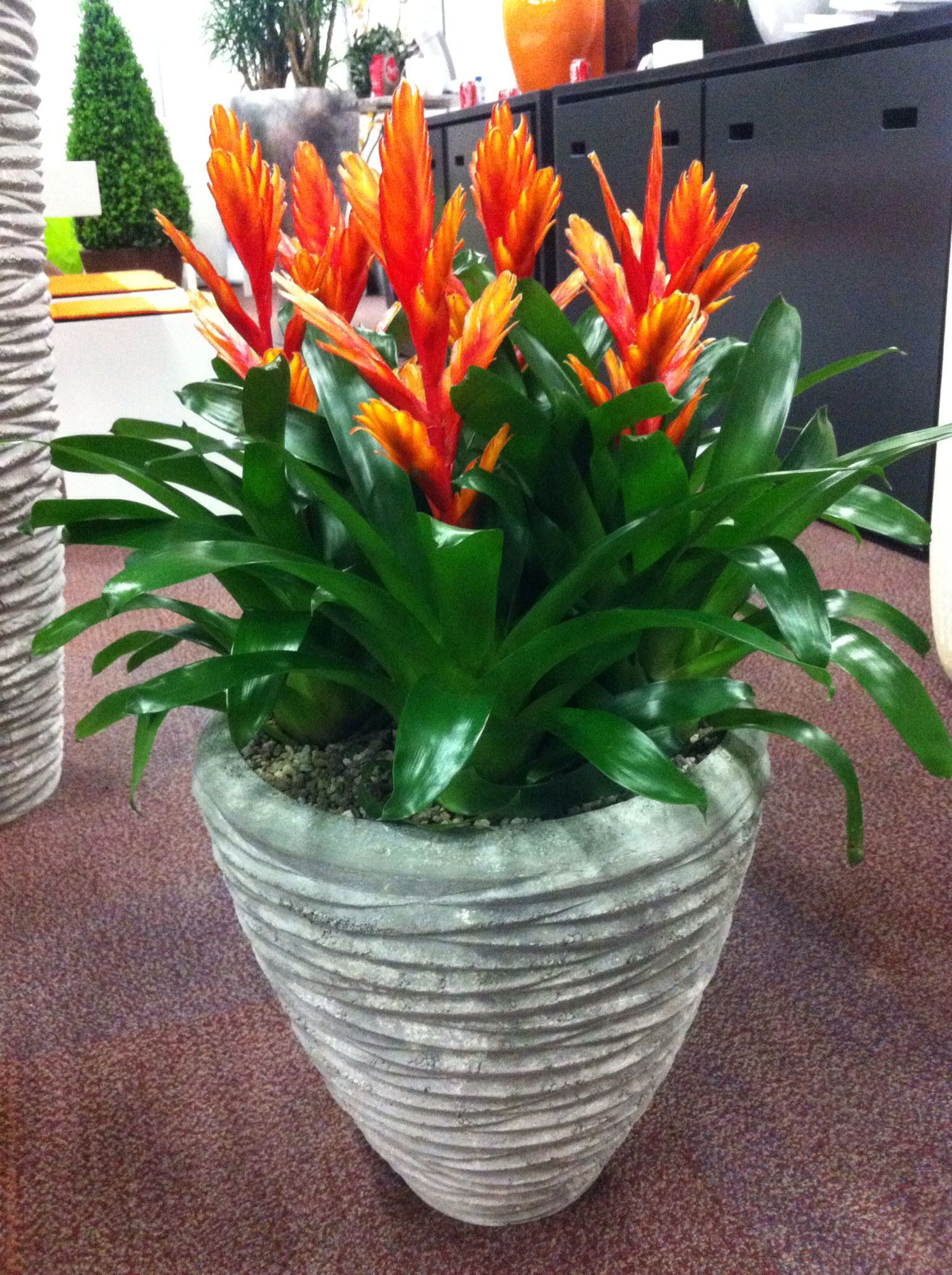 Orange Verseias Potted Plantsindoor