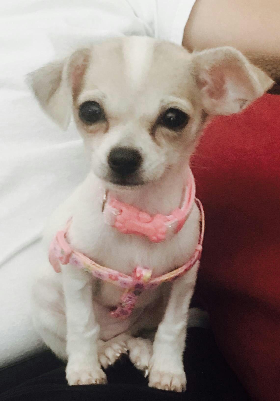 12 Week Old Chihuahua Thayler Chihuahua Love Chihuahua Animals