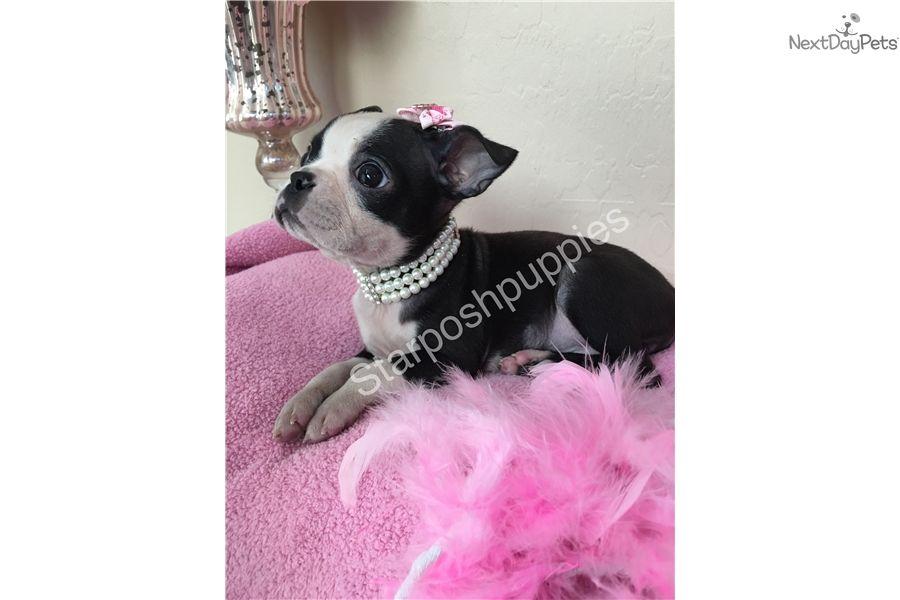 Boston Terrier Puppy For Sale Near Phoenix Arizona 264378b6