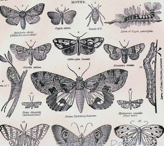victorian entomology - Urban Moths Pinterest Moth, Victorian - entomology scientist resume