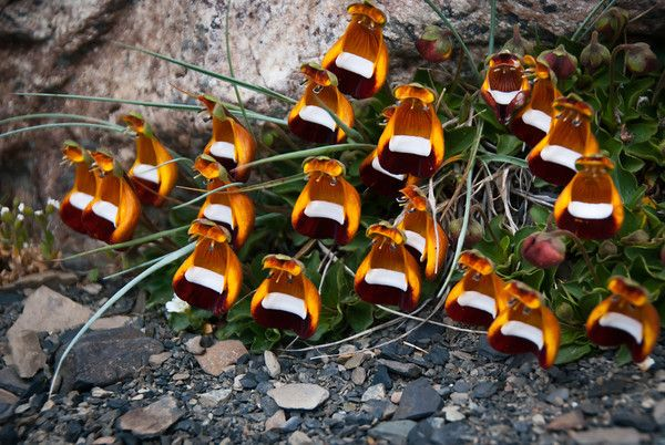 """Unusual and beautiful flowers in Patagonia -- Argentina."" - like little lounge chairs for a restful moment in the great outdoors, or perhaps the birthplace of yet unknown little creatures? ~:^)>"
