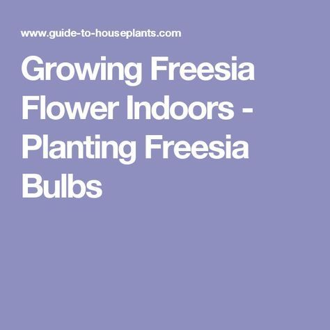 Growing Freesia Flower Indoors Planting Freesia Bulbs Freesia Flowers Freesia Indoor Flowers