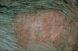 Allergy Flea Allergy Dermatitis In Dogs Dog Allergies Dog Itching Remedies Itchy Dog Remedies