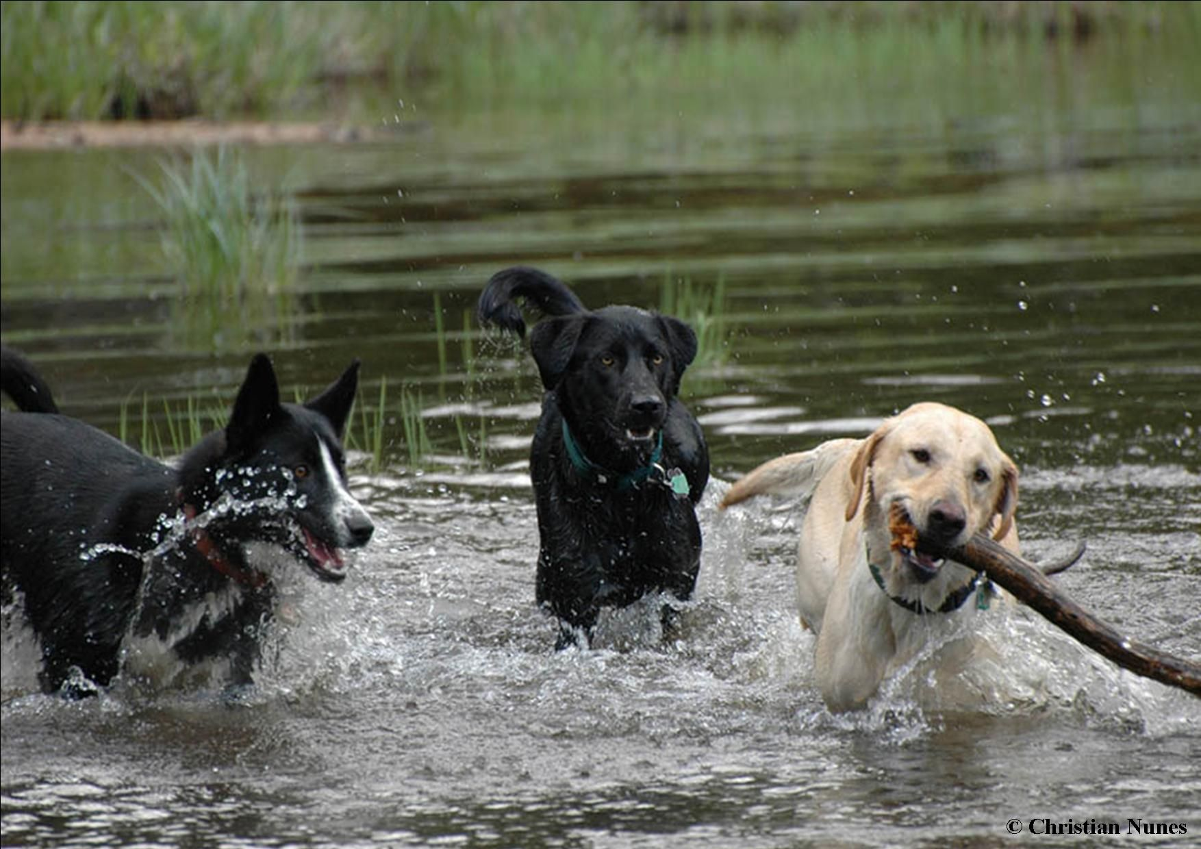 Three Dogs Playing In Water Dogs Dog Swimming Dog Playground