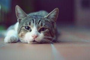 Funny Lazy Cat Wallpaper Free Download For Dekstop PC