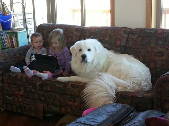 Great Pyrenees Love Kids They Will Protect Them Whatever It Takes
