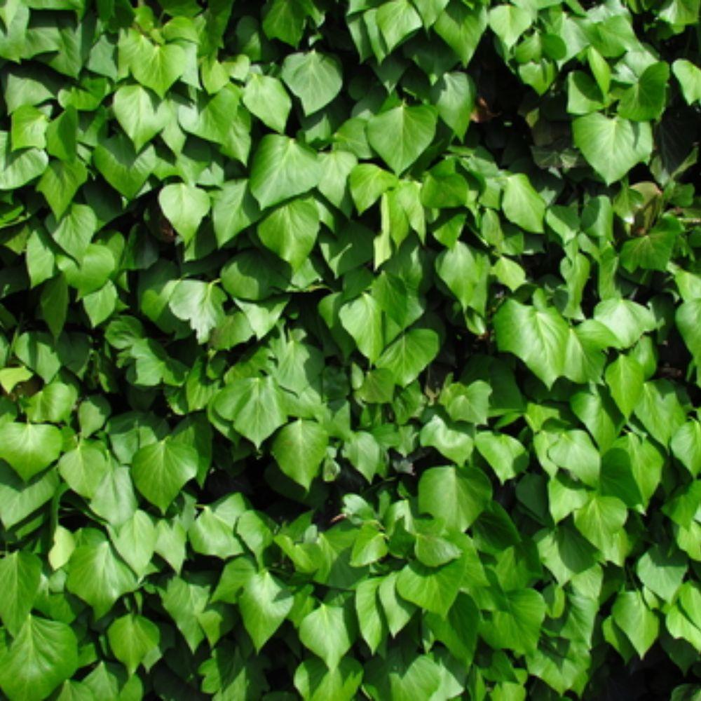 Hedera hibernica Irish ivy (With images) Hedera, Ivy