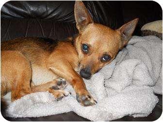 Shiba Inu Chihuahua Mix Chihuahua Shiba Inu Mix Dog For Sale In