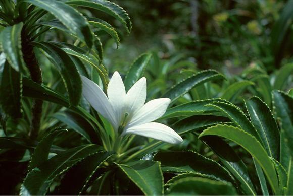 Tiare Apetahi Flower Only Grows On The Temehani Mountain Of Raiatea