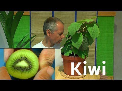 kiwi vom samen zur pflanze youtube pflanzen pinterest pflanze youtube und pflanzen. Black Bedroom Furniture Sets. Home Design Ideas
