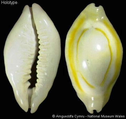 Cypraea_noumeensis_holotype.jpg