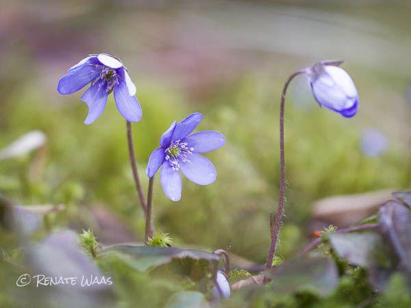 Erste Blüten Im Garten - Hepatica - Leberblümchen. Sie Sind Mit ... Welche Blumen Im Schatten Garten Pflanzen