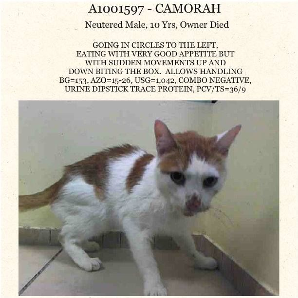 Gone But Not Forgotten Be Destroyed 6 9 14 Senior Alert Brooklyn Center My Name Is Camorah My Animal Id I My Animal Cat Adoption Animal Rescue Site