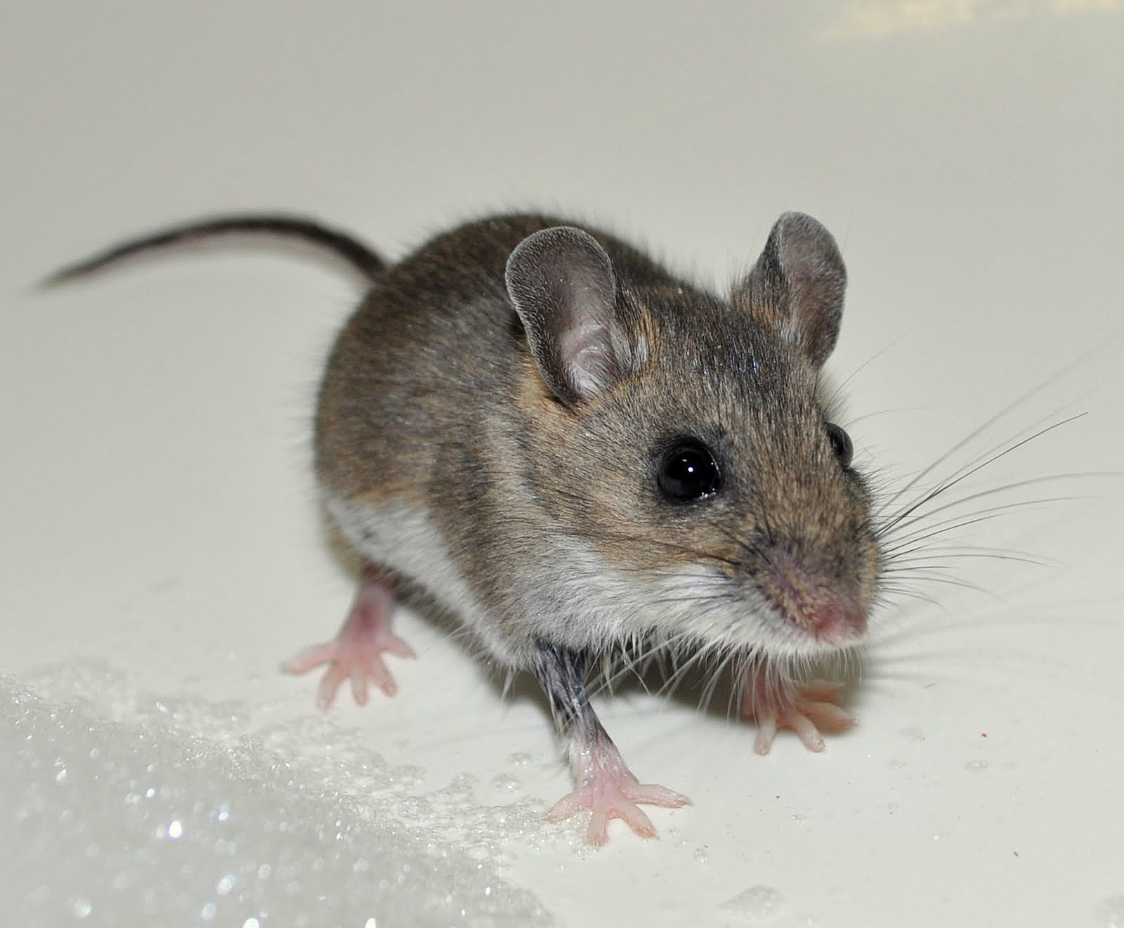 House Mouse (Mus musculus). An invasive found all over ...