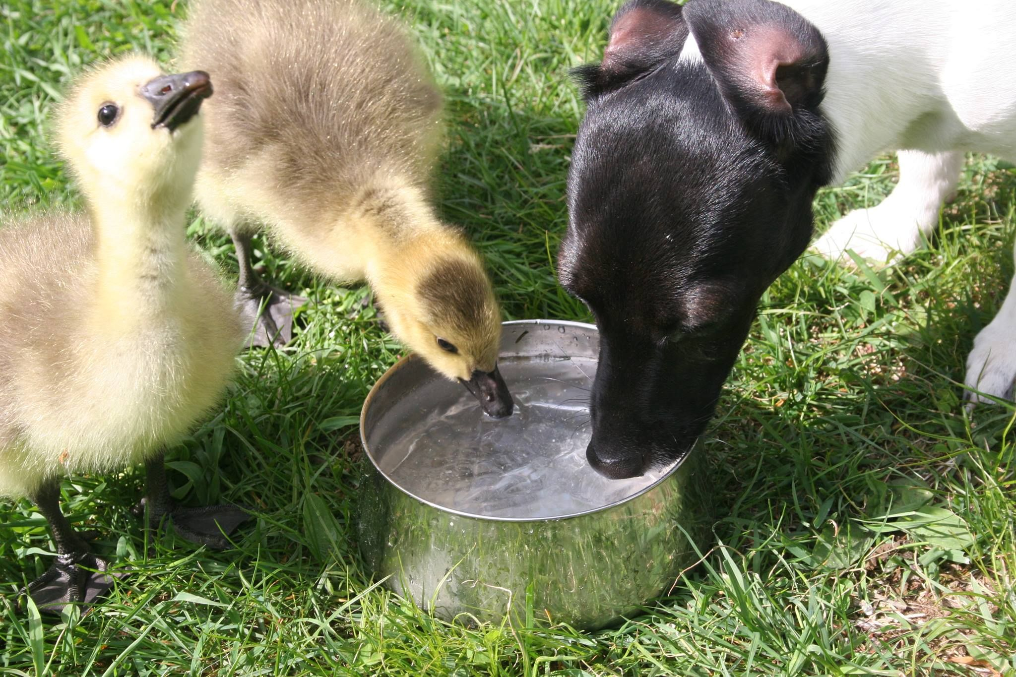 My girlfriend's dog Lucy drinking with the baby geese http://ift.tt/2kz9Bkc