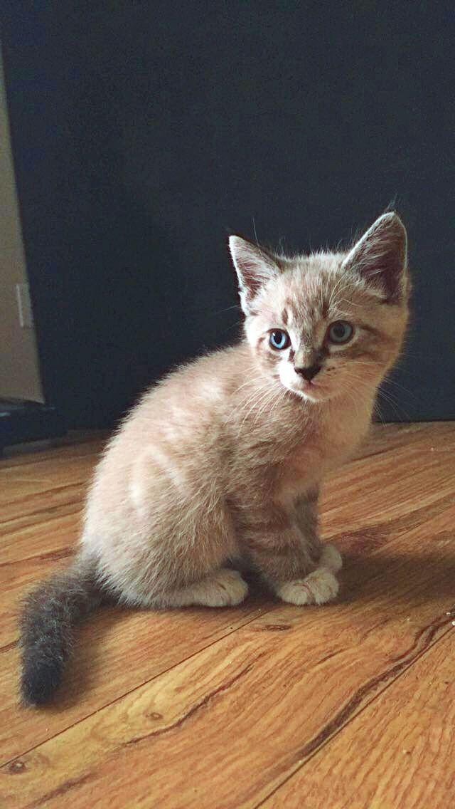 Lynx Point Tabby Cat 1 Month Old Kitten Creamy Siamese Tabby Lynx Point Tabbycat Cute Cats And Kittens Kittens Cats