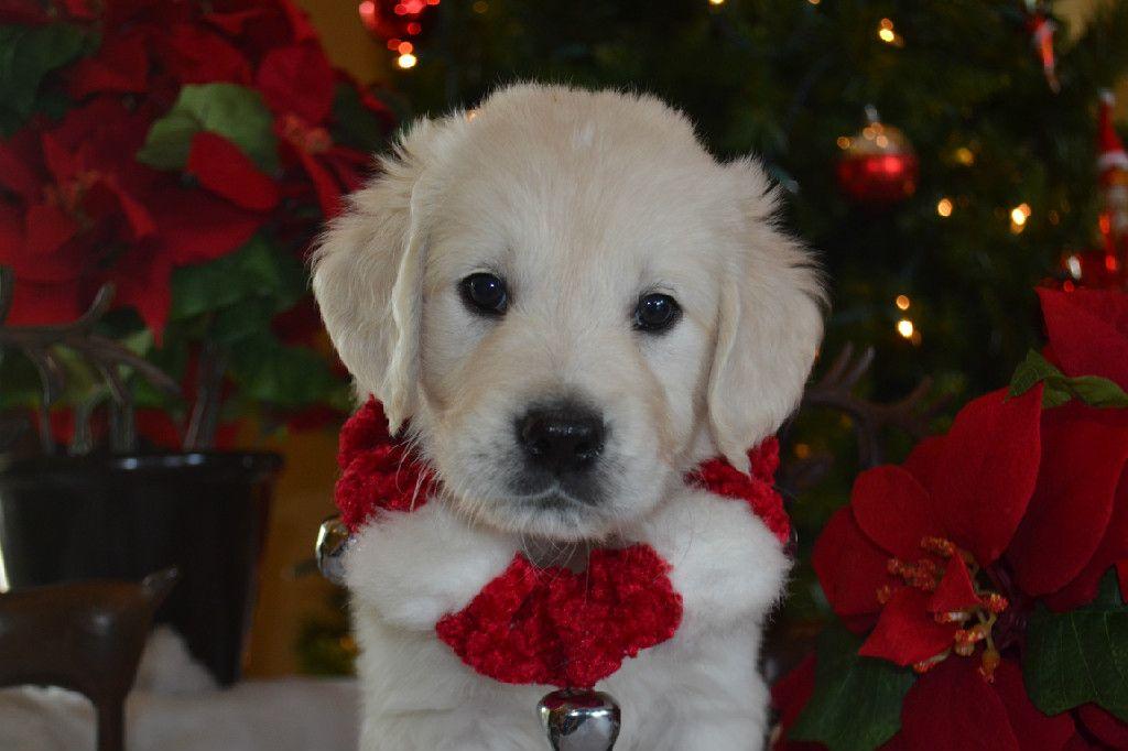 Available English Cream Golden Retriever Puppies Golden