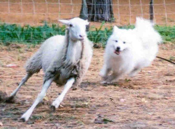 Www Nuuktokamericaneskimodogs Com Herding Htm American Eskimo Dog Herding Samoyed