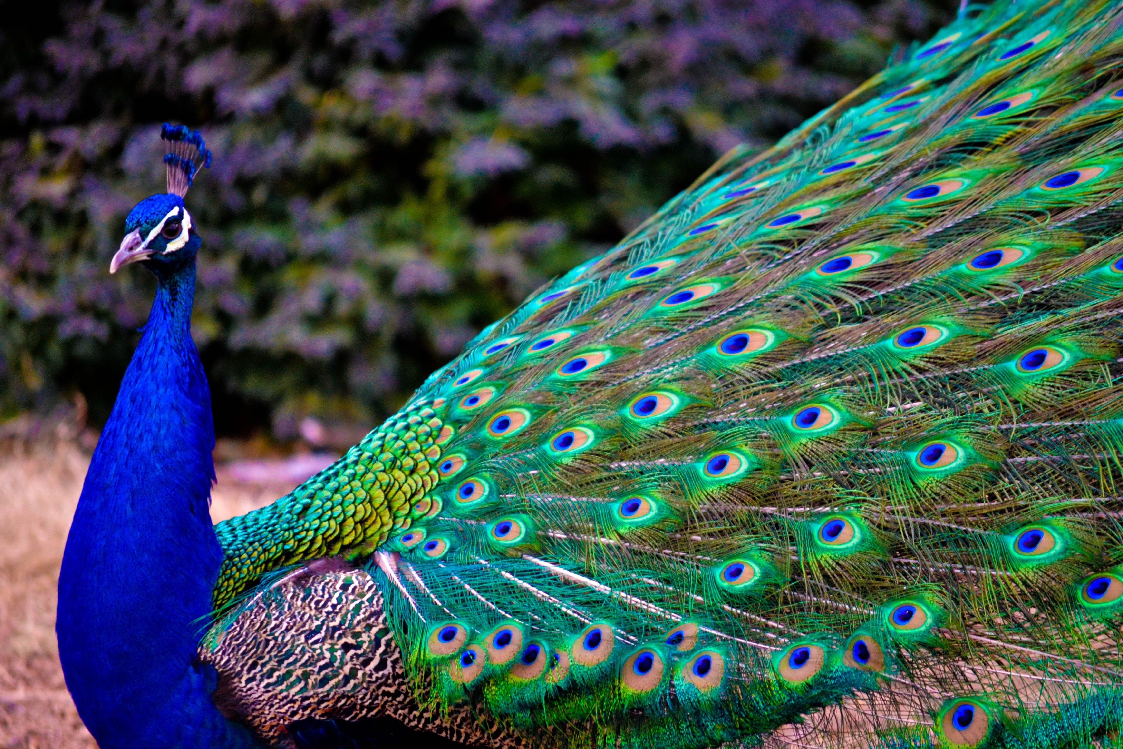 peacock hd wallpaper | peacock pictures | new wallpapers | peacocks