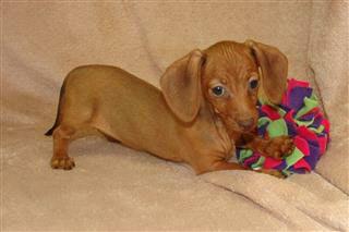 Buttercup Dachshund Puppy Miniature Dachshund Puppies
