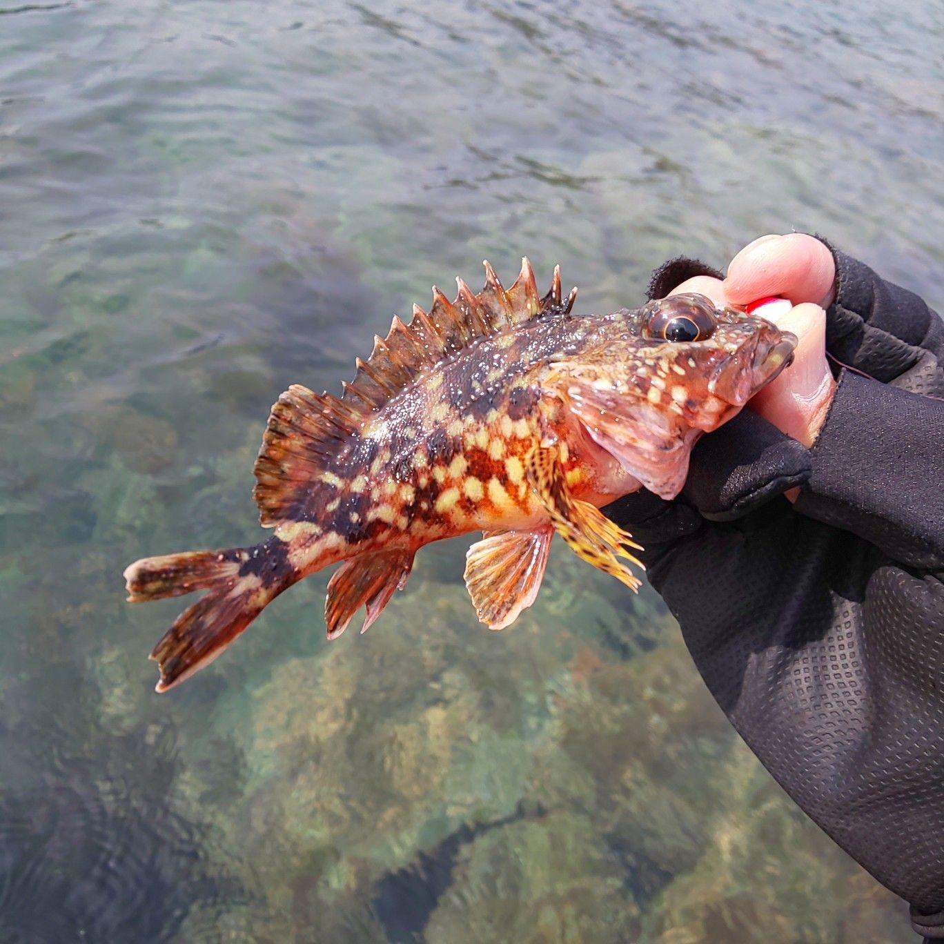 ガシラ #カサゴ #Marbledrockfish #エコギア #ストローテールグラブ ...