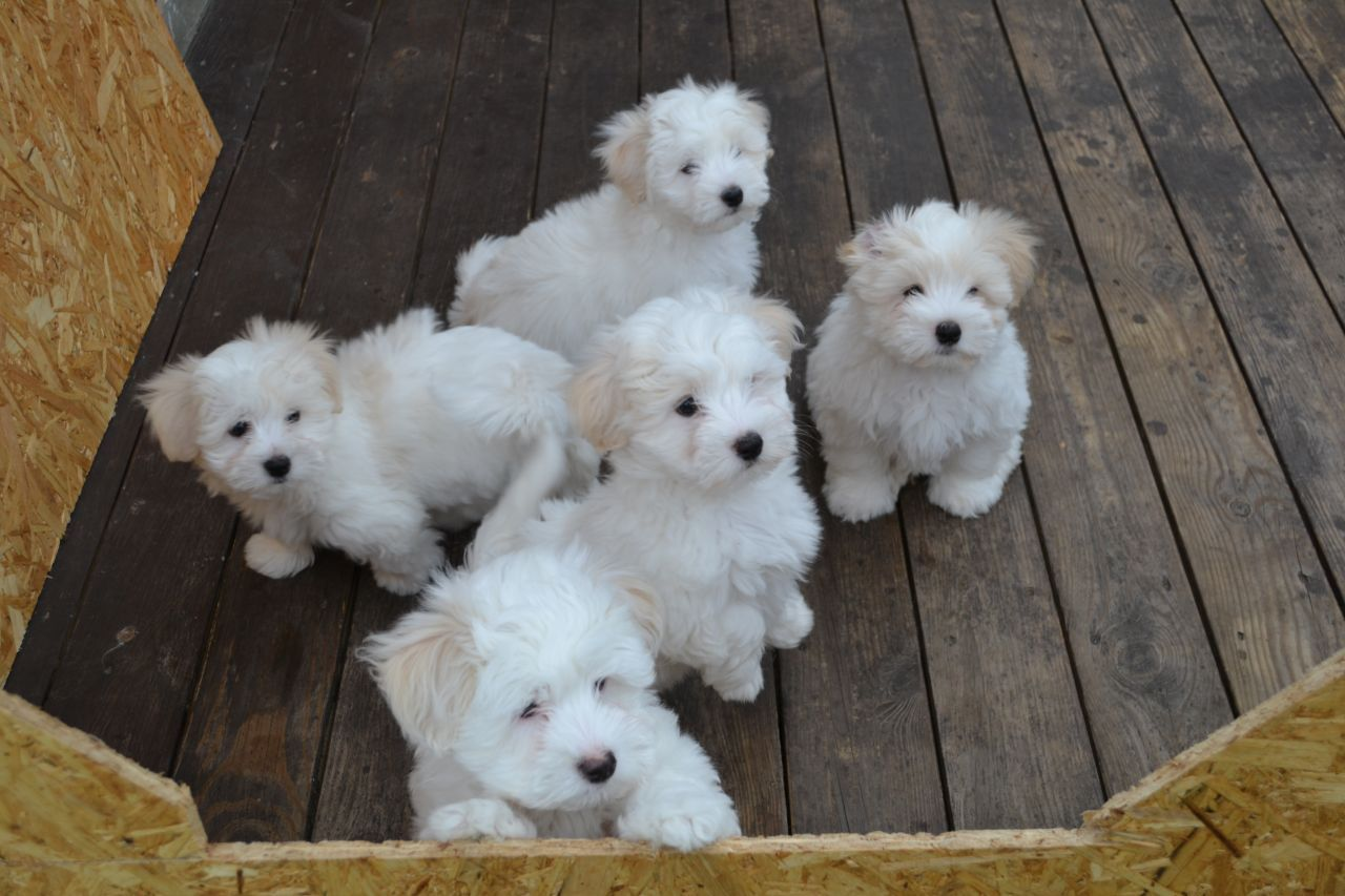 Image Result For 8 Week Old Coton De Tulear Coton De Tulear Puppy Coton De Tulear Dogs Cute Baby Animals