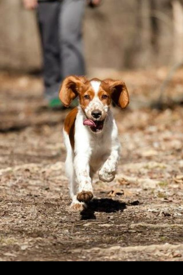 Pin By Jessica Schnebly On Photos Welsh Springer Spaniel Welsh Springer Spaniel Puppies Springer Spaniel Puppies