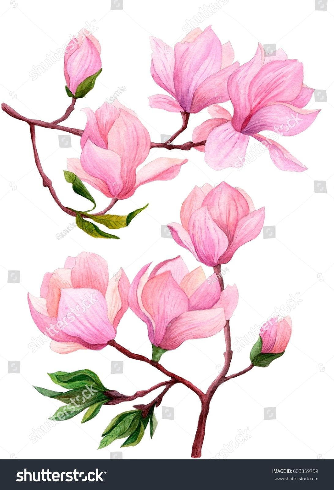 Watercolor Set Of Magnolia Branches Hand Drawn Botanical Illustration Pink Magnolia In Bloom Isolat Cherry Blossom Art Cherry Blossom Drawing Magnolia Branch