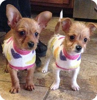 Trenton Nj Chihuahua Dachshund Mix Meet Serona Puppy Adoption Kitten Adoption Dachshund Mix