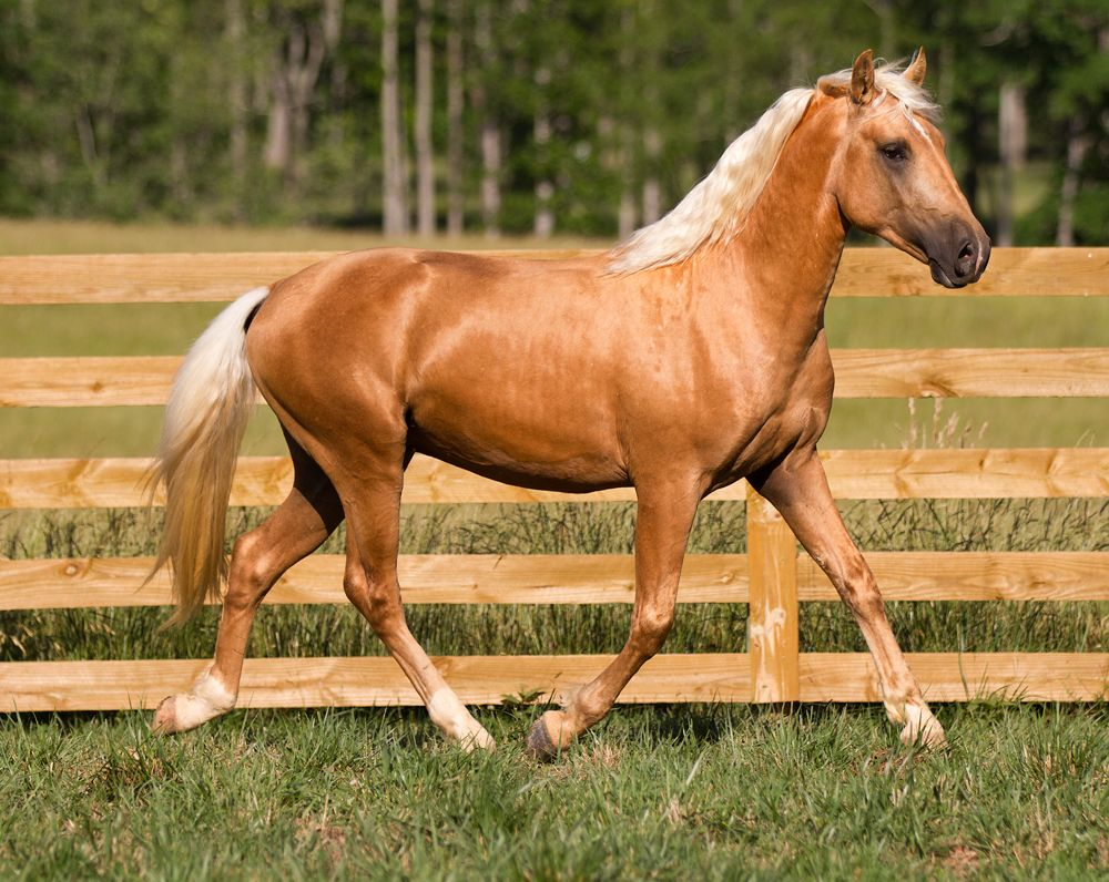 Image result for palomino