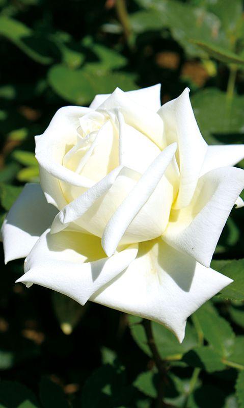 Edelrose Polarstern ® Diese Edelrose ist öfterblühend und ...