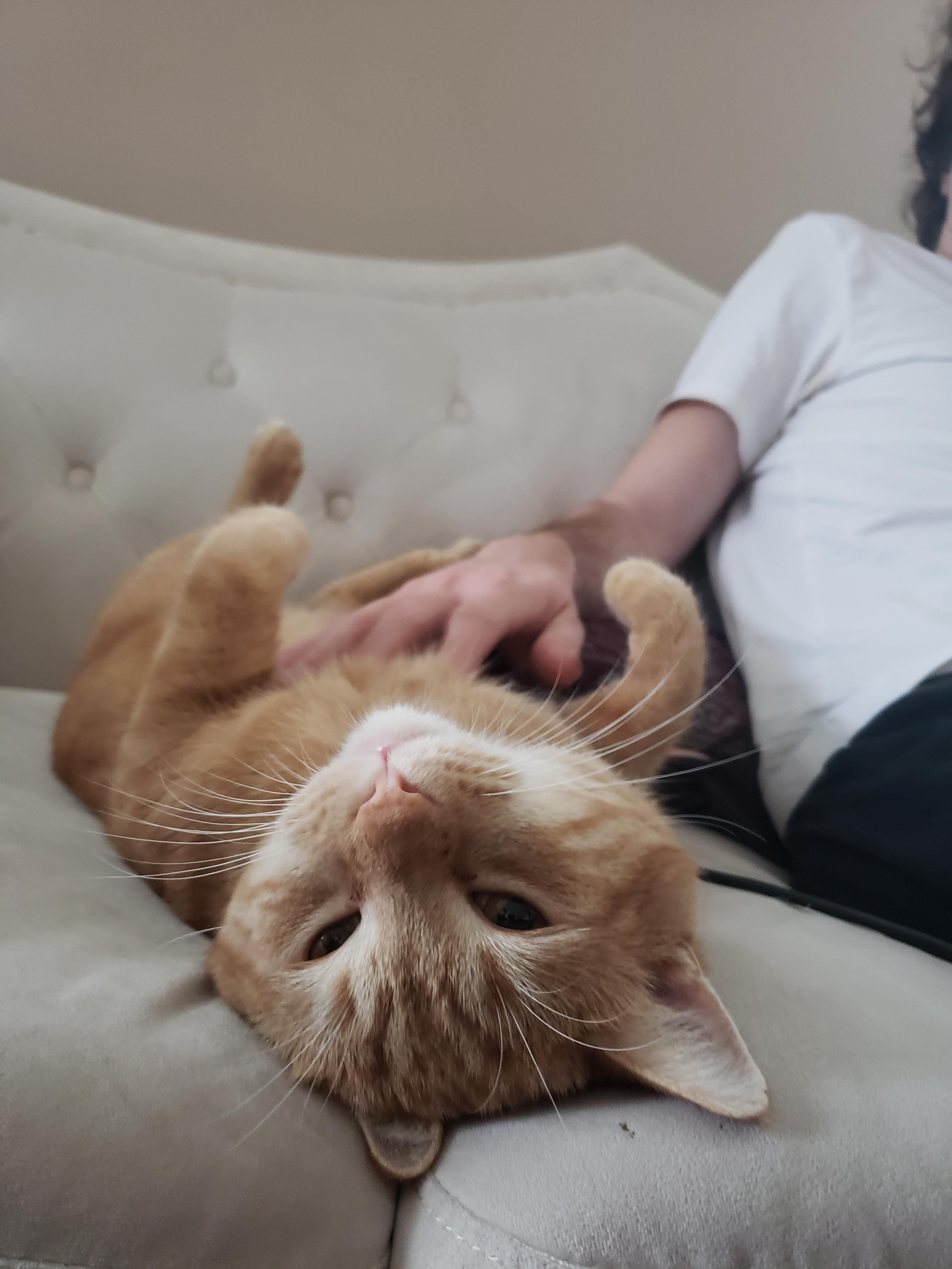 Getting Some Belly Pets From Dad Cat Feline Kitten Pictures I Love Cats