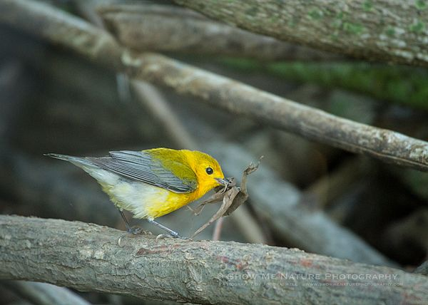 Nesting Along the Water's Edge - Prothonotary Warbler (Protonotaria citrea) | Show Me Nature Photography