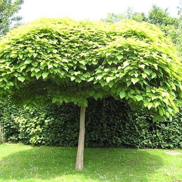 Catalpa Quot Bungei Quot Backyard Garden Design Garden Layout