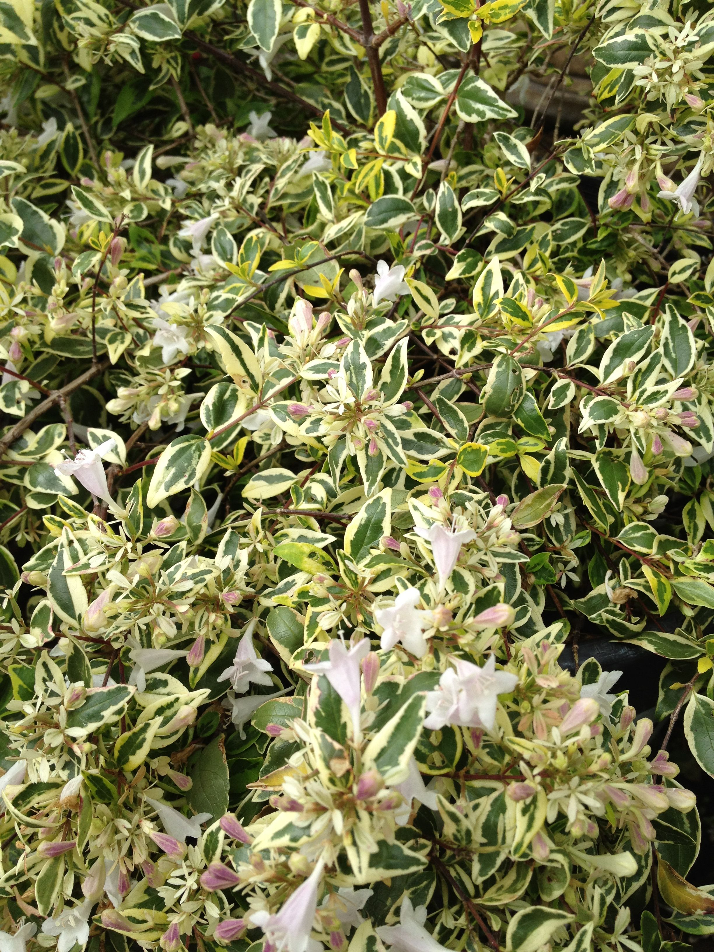 Twist Of Lime Abelia Great Lime Scent With A Nice Cascading Habit