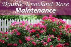 Plant Care 101: Double Knock Out Roses #knockoutrosen The complete care guide for Double Knockout Roses, including how to plant, how to maintain them and how to prune. #knockoutrosen Plant Care 101: Double Knock Out Roses #knockoutrosen The complete care guide for Double Knockout Roses, including how to plant, how to maintain them and how to prune. #knockoutrosen