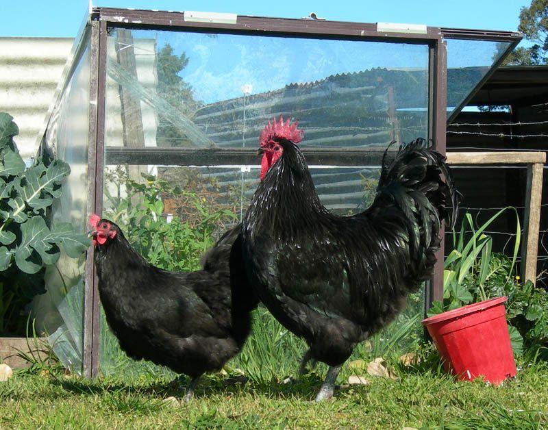 Australorp Chickens Such Gorgeous Birds Australorp