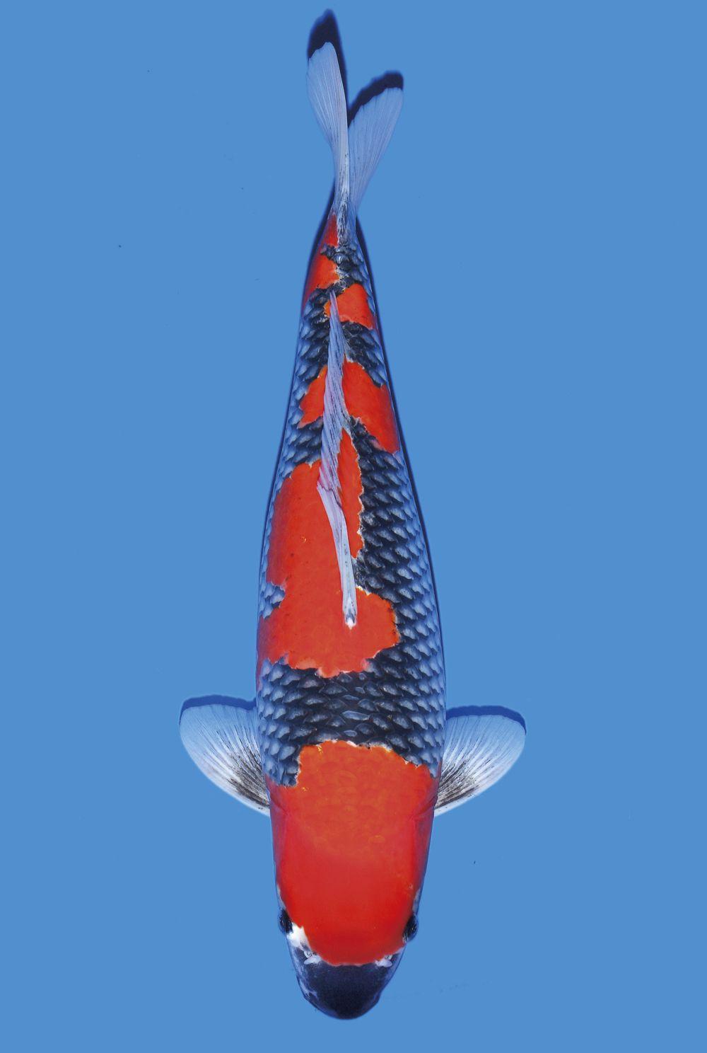 Goshiki   Koi - fancy carp ⚛️ ปลาคราฟ   Koi carp, Koi ...