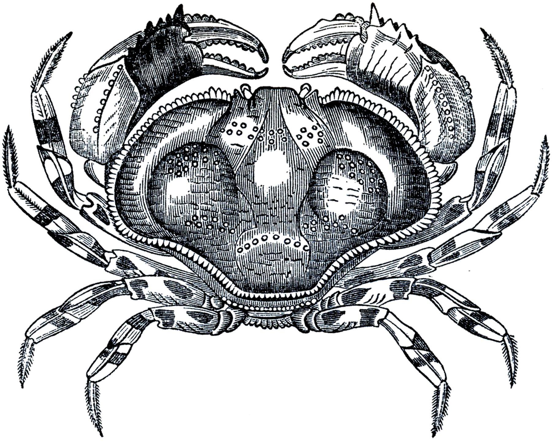 50+nautical+images+the+graphic+fairy | Free Public Domain Crab Image!