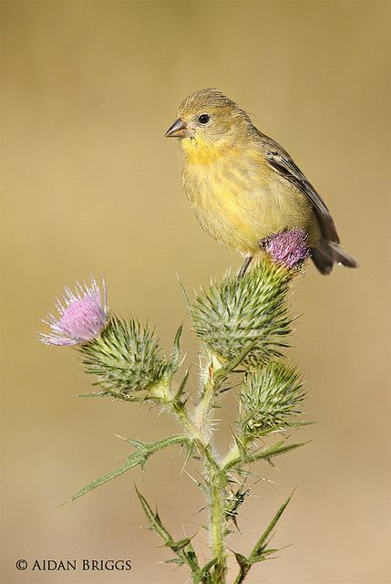 lesser goldfinch  | lesser goldfinch female lesser goldfinch perched on a thistle plant