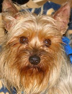 I Found Gizmo On Cute N Funny Animals Pinterest Yorkie