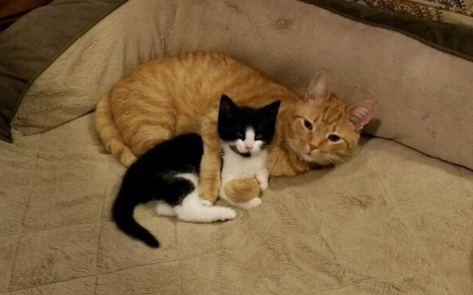 Family Cat Wanted to Keep Foster Kitten! (PHOTOS) in 2020