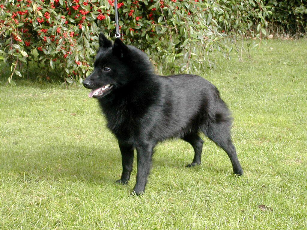 Golden Schipperke Small Dog Breeds Taken From Black Schipperke Dog Schipperke Dog Dog Breeds Black Dogs Breeds
