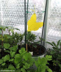 whiteflies, fungus gnats, sticky traps | Garden soil ...
