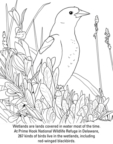 Red Winged Blackbird Coloring Page From Category Select 27278 Printable Crafts Of Cartoons Nature Animals Bible And Many More
