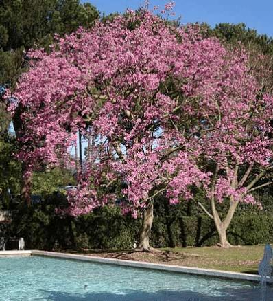 Pink Dogwood Tree Pink Dogwood Tree Dogwood Trees Pink Dogwood