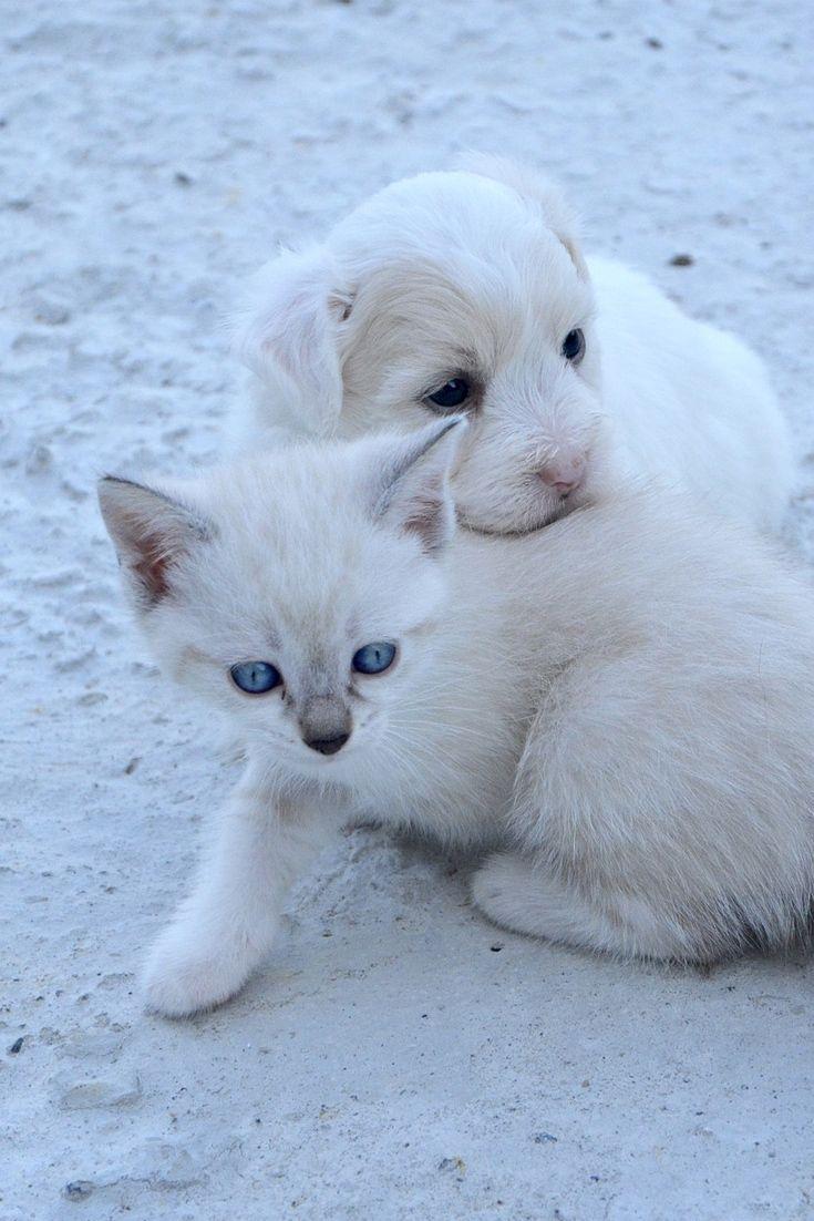 Cute Puppy And Kitten Friends Cute Kitten Puppy Cat Dog Friends Cuteanimals Theworldisgreat Cute Puppies Kittens Cats Kittens Kittens