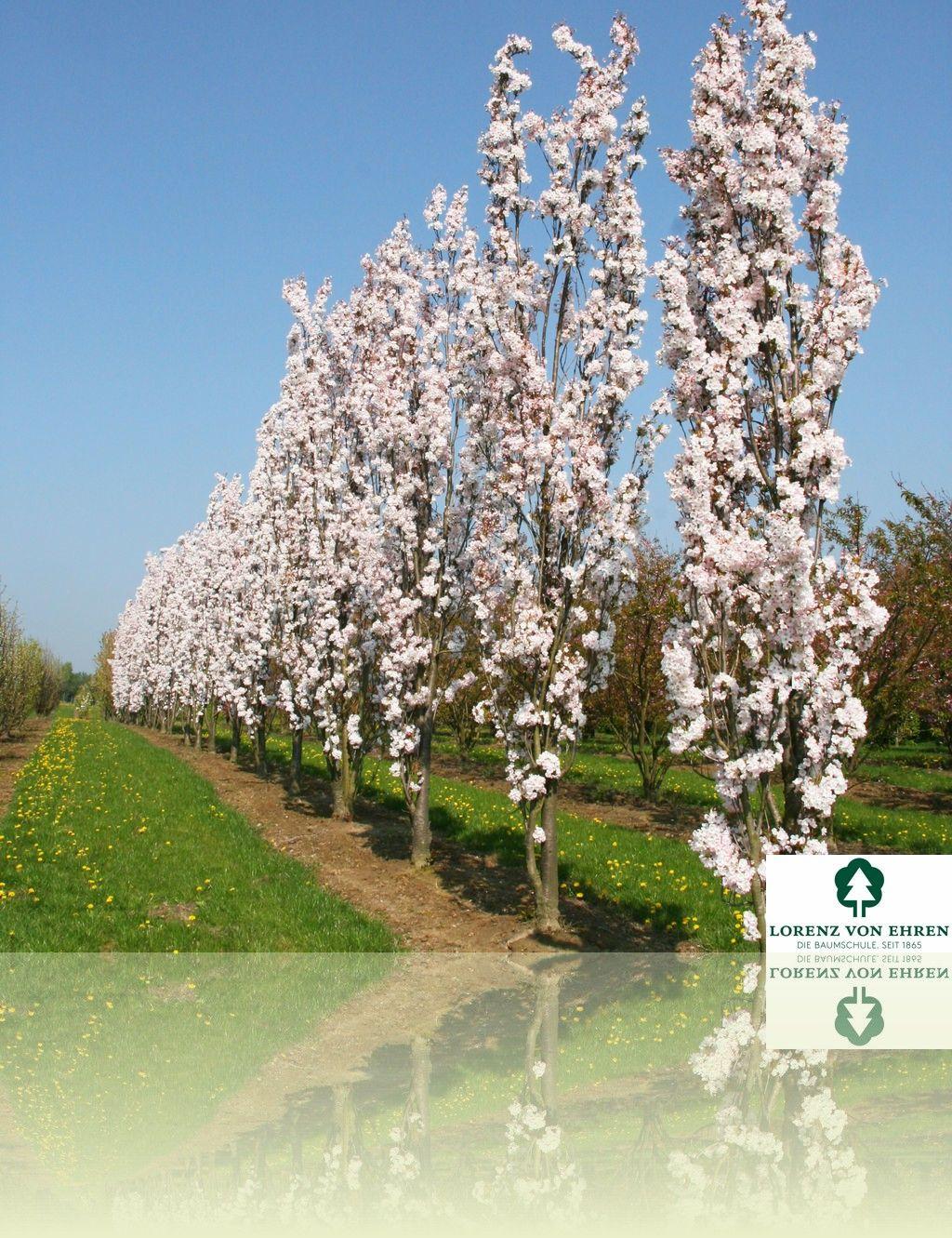 Prunus Serrulata Amanogawa Luxury Garden Small Garden Luxury Garden Furniture