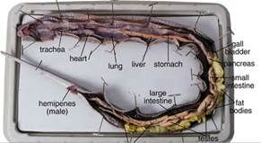 diagram of snake anatomy yahoo search results yahoo image viper diagram diagram of snake anatomy yahoo search