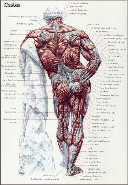 Malhar 100 Academia: Anatomia muscular do corpo humano | espetacular ...